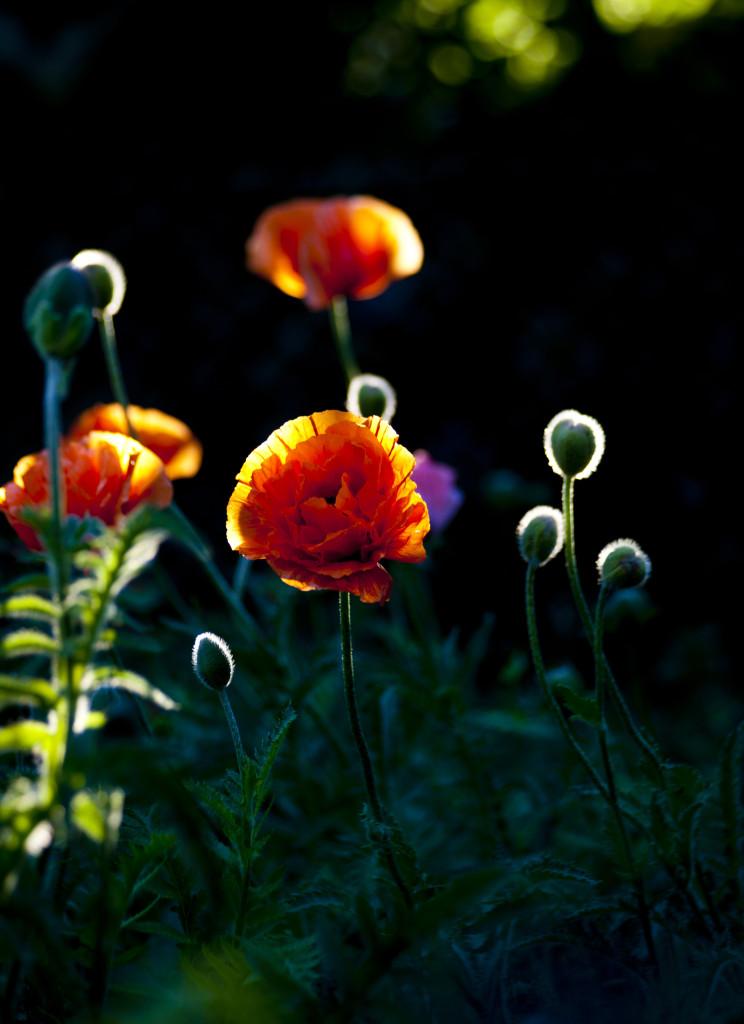 Trädgårdsvallmo, plåtad hemma i vår trädgård.
